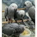parrots and fertiles eggs