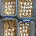 Fresh Quality fertile Parrot Birds Eggs for Hatching