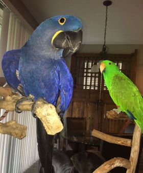 Tamed Parrots And Fertile Parrot Eggs Available.l